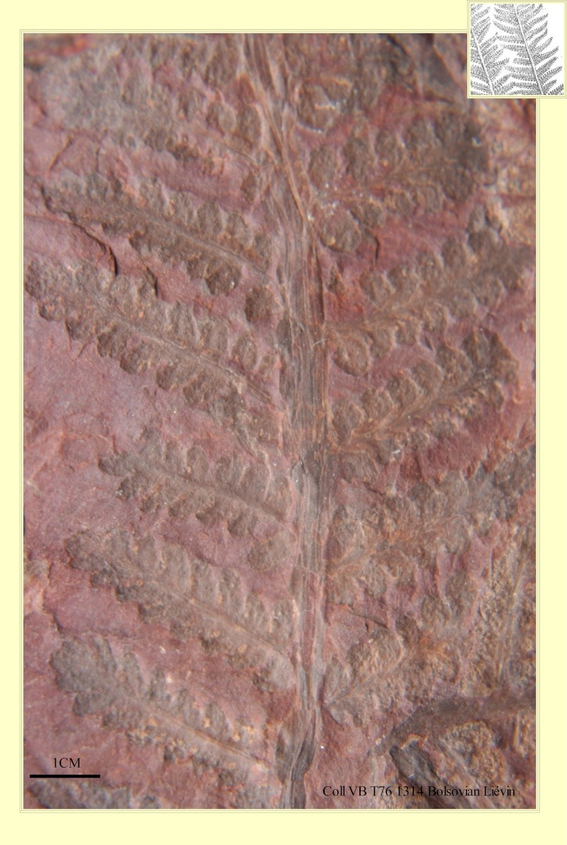 Pecopteris (Brongniart ) , Sternberg 1825. Pl_pec13