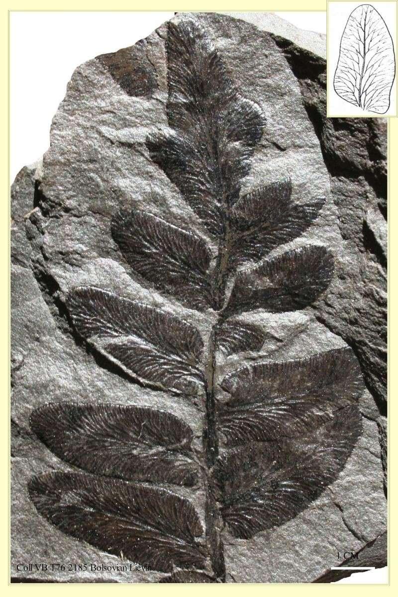 Reticulopteris Kirichkova , 1860 .  Pl_ret10