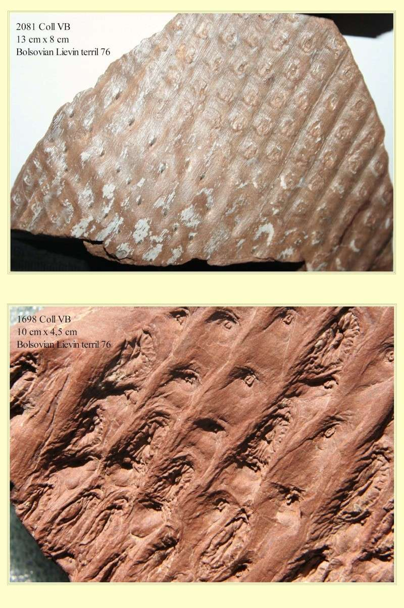 Sigillaria et zone d'insertion des sigillariostrobus Pl_sig15