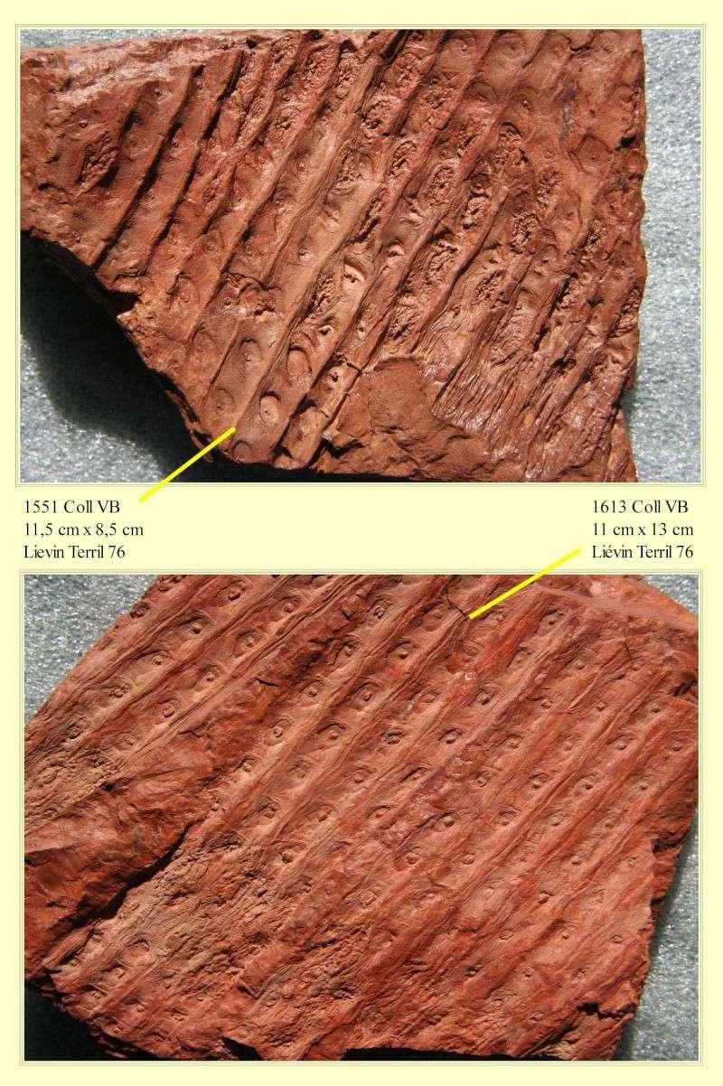 Sigillaria et zone d'insertion des sigillariostrobus Pl_sig16