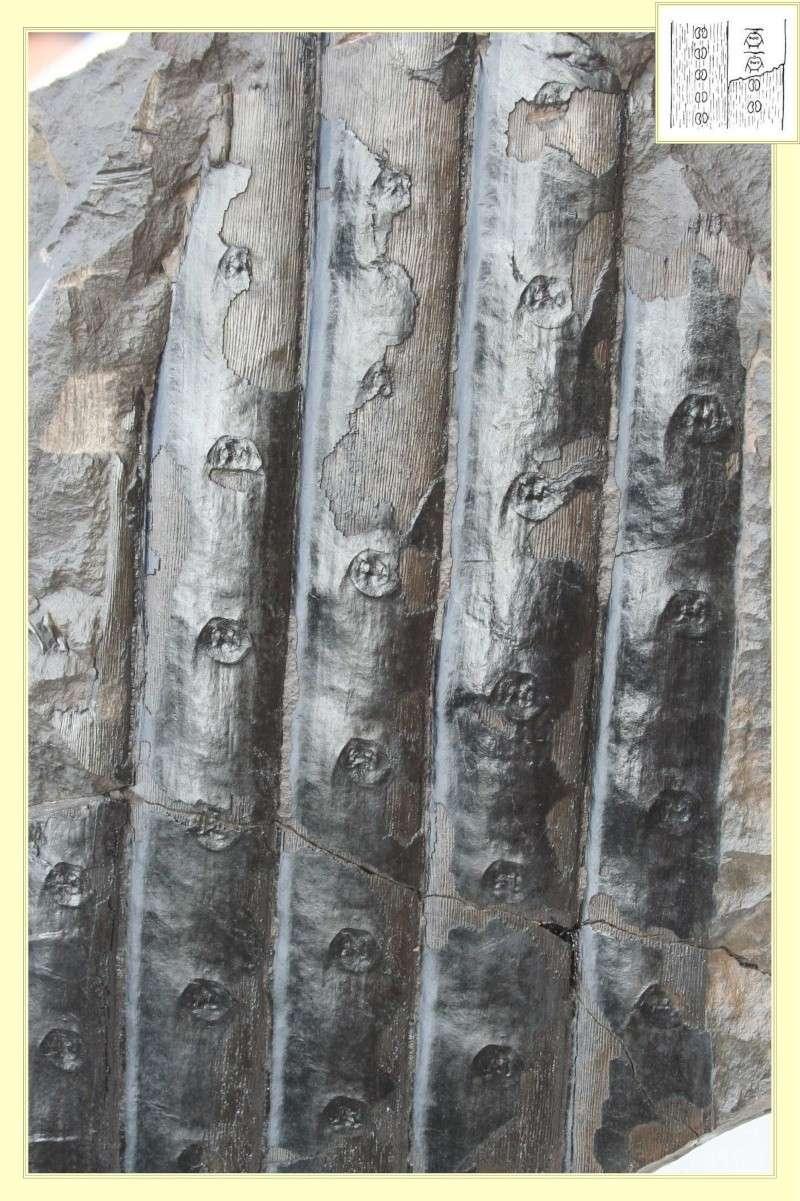 Sigillaria Brongniart ,1822. Syringodendron Sternberg,1820.  Pl_sig18