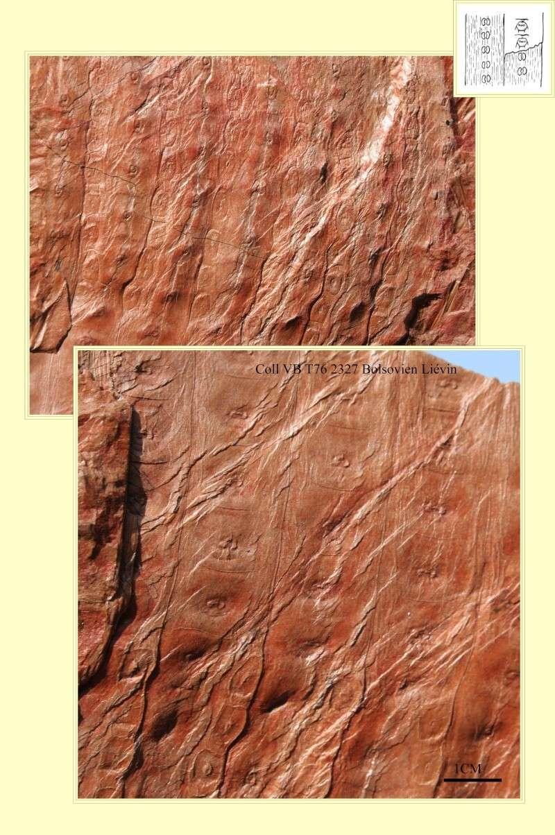 Sigillaria et zone d'insertion des sigillariostrobus Pl_sig19