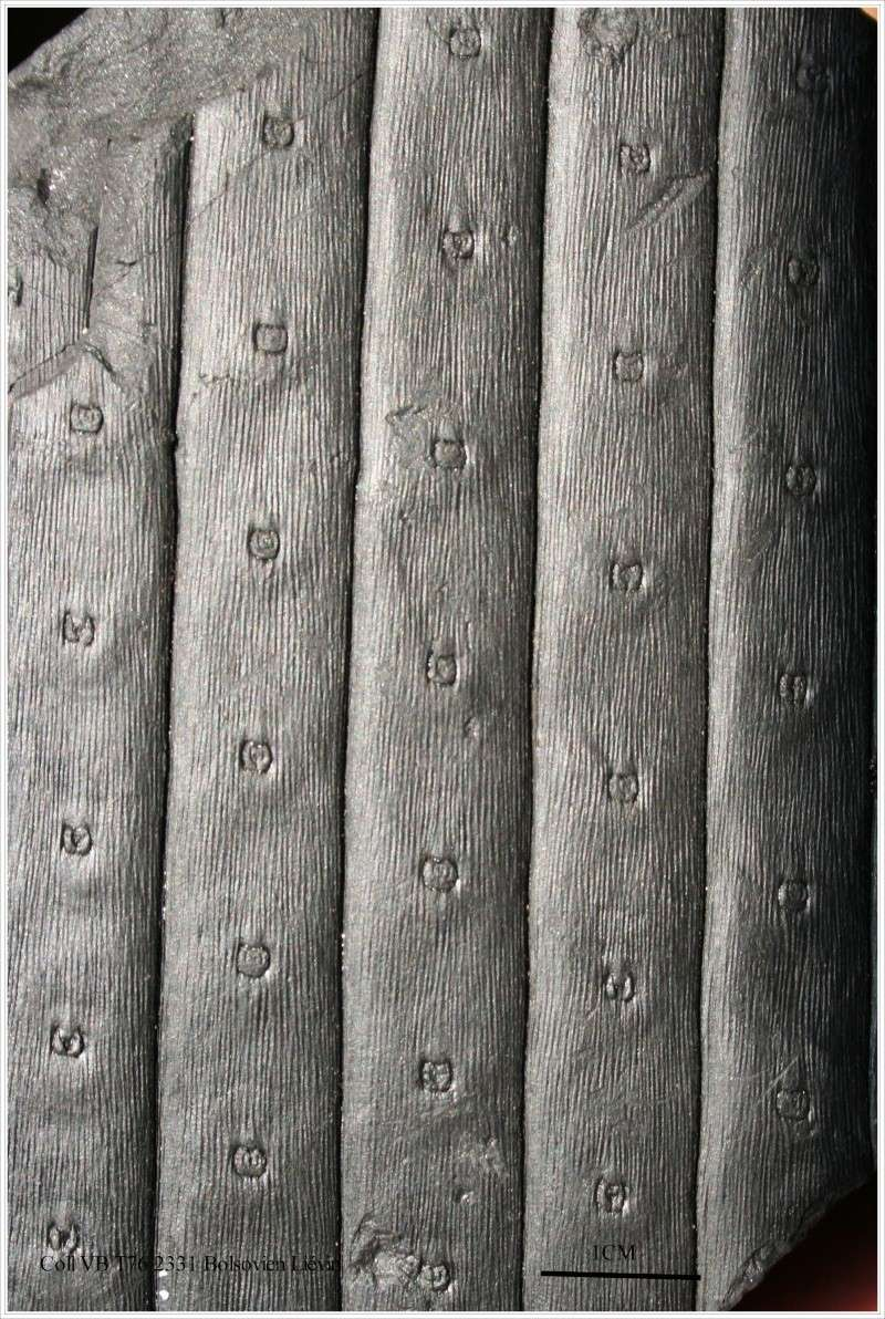 Sigillaria Brongniart ,1822. Syringodendron Sternberg,1820.  Pl_sig20
