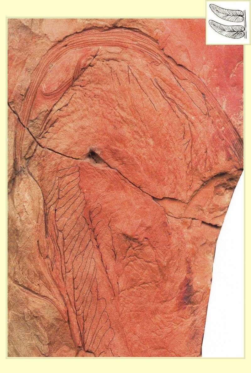 Neuropteris ovata Hoffmann . Cyclopteris Brongniart , 1830.  Pl_spi10