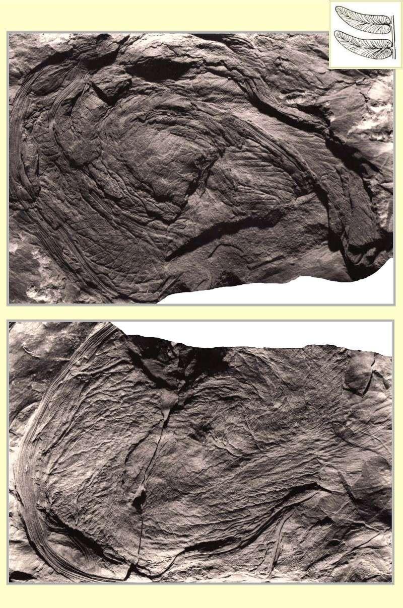 Neuropteris ovata Hoffmann . Cyclopteris Brongniart , 1830.  Pl_spi11
