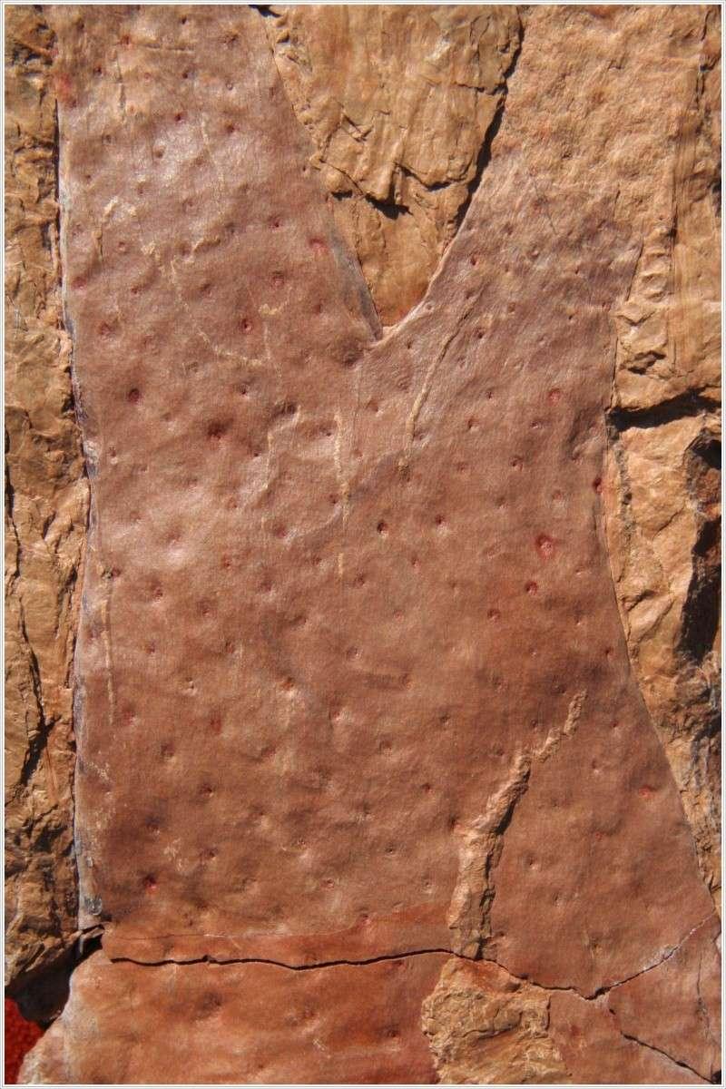 Stigmaria Brongniart , 1822 .  Pl_sti10
