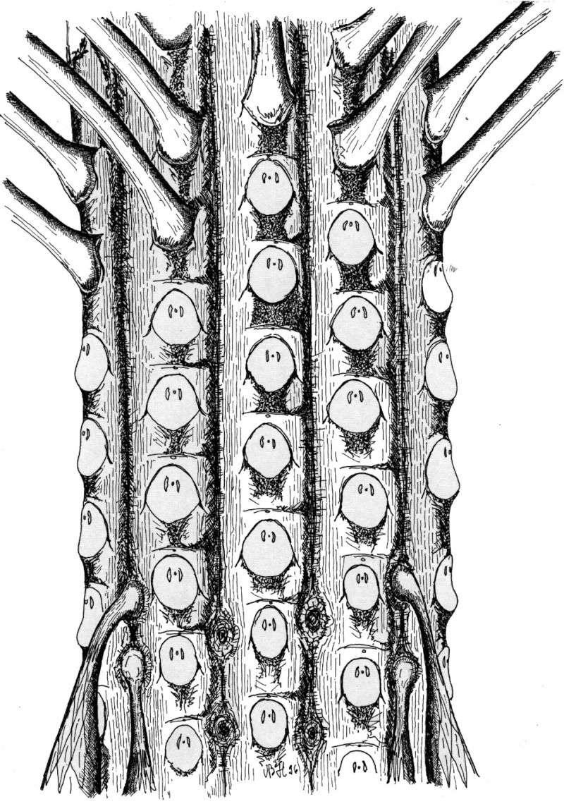 Sigillaria et zone d'insertion des sigillariostrobus Recons12
