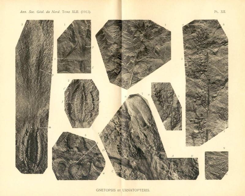Rhodeites  Urnatopteris   Sgn_1910