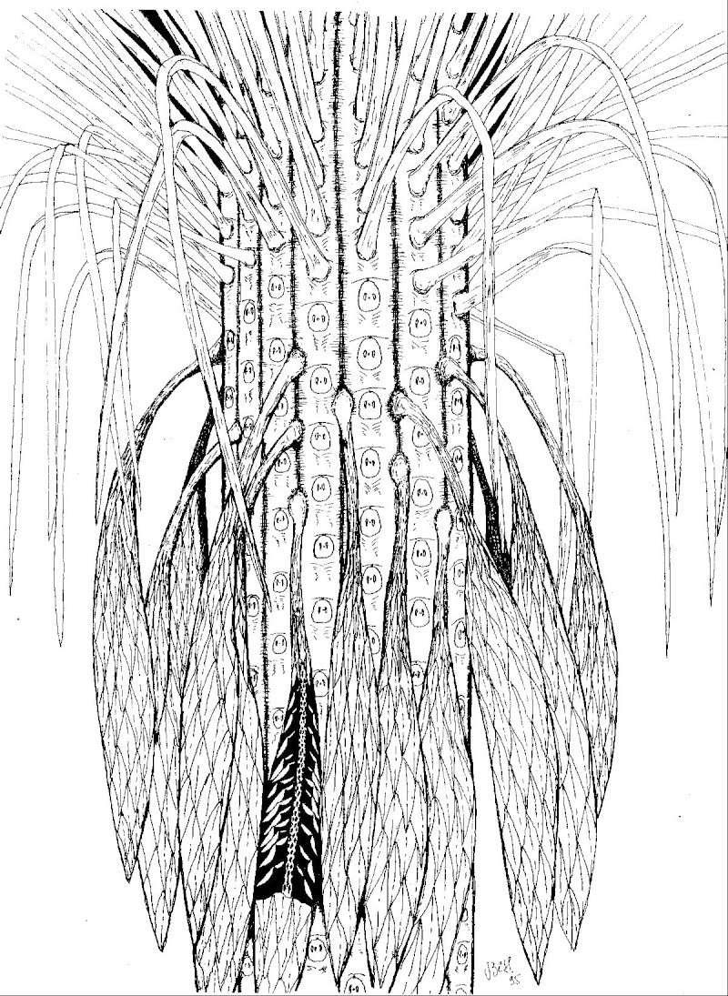 Sigillaria Brongniart ,1822. Syringodendron Sternberg,1820.  Sigill17