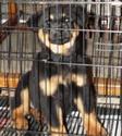 Chien rottweiler croisé Labrador(VENDU) Dscf1412
