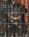 Chien rottweiler croisé Labrador(VENDU) Magy10