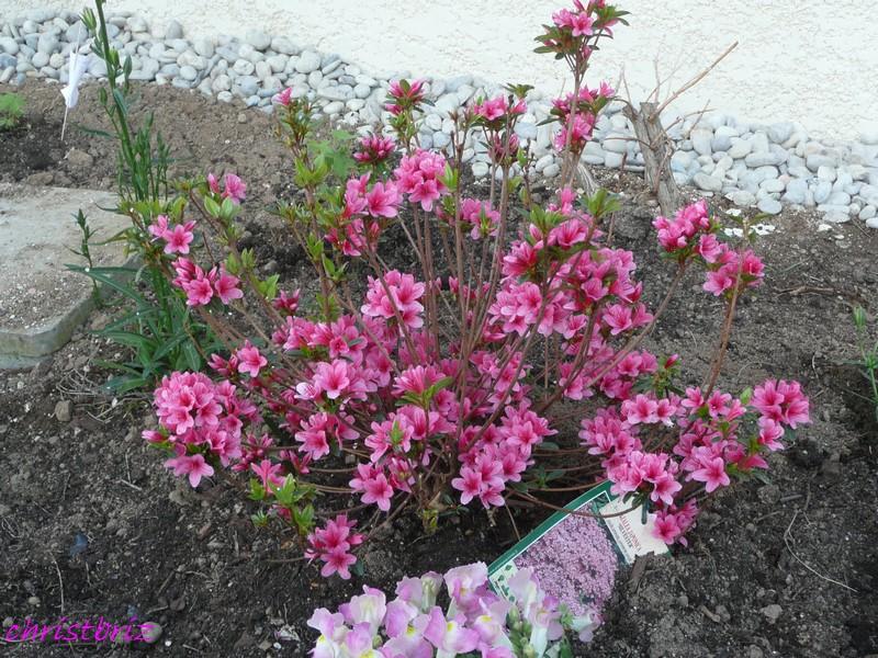 les vivaces de printemps s ouvrent 2010_055