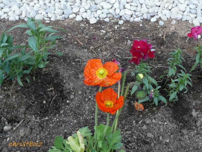 les vivaces de printemps s ouvrent 2010_056