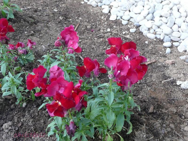 les vivaces de printemps s ouvrent 2010_057