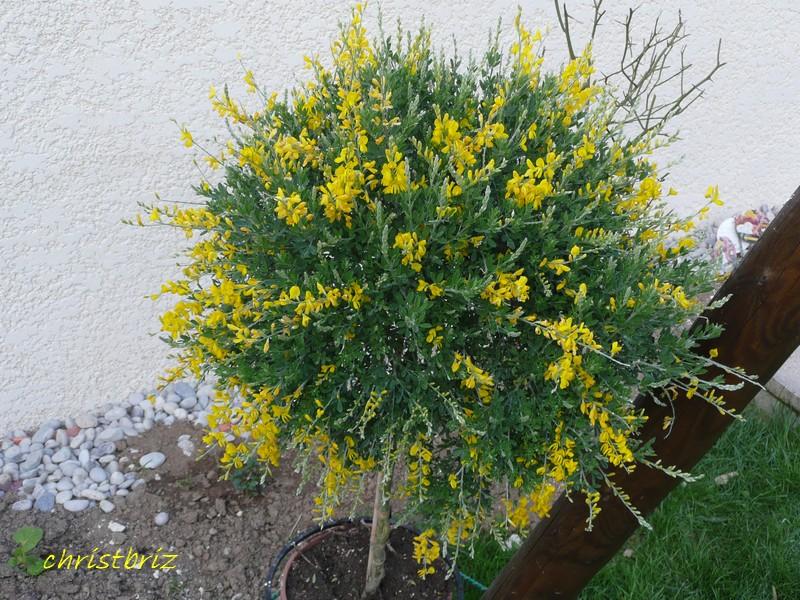 les vivaces de printemps s ouvrent 2010_058