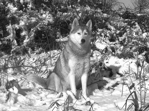 Les loups...... 21205010