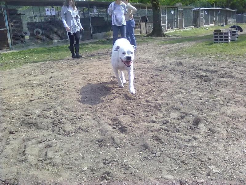 Snoopy, 10 mois, labrador sable, non lof, 250268500227191 - SPA de Gien 45 15052011