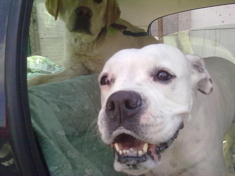 Snoopy, 10 mois, labrador sable, non lof, 250268500227191 - SPA de Gien 45 15052012