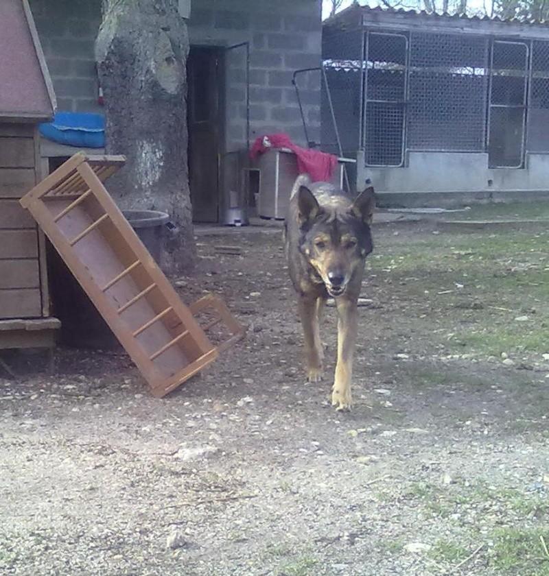 Roméo, berger, 8 ans, sauvé de l'eutha, SPA de Gien 45 Romeo10