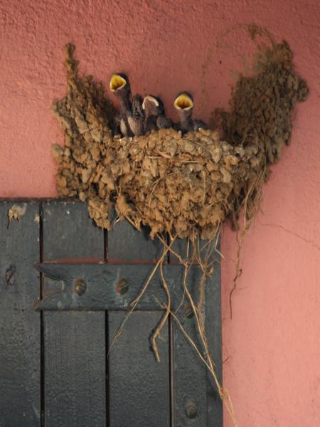 Gli uccellini e il nido Rondin10