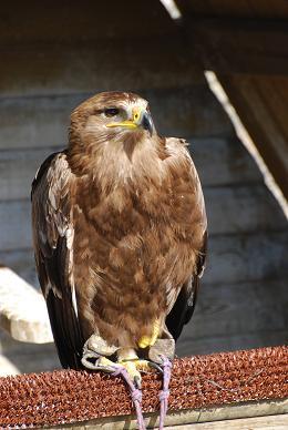 La chasse au rapace Aigle212