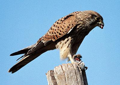 La chasse au rapace Faucon11