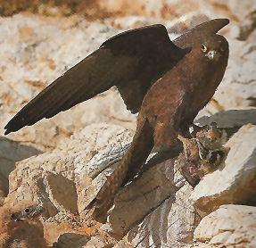 La chasse au rapace Faucon15