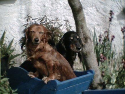 Mes petites chiennes ( IZA ET NIKIE ET BICHON ) Image_10