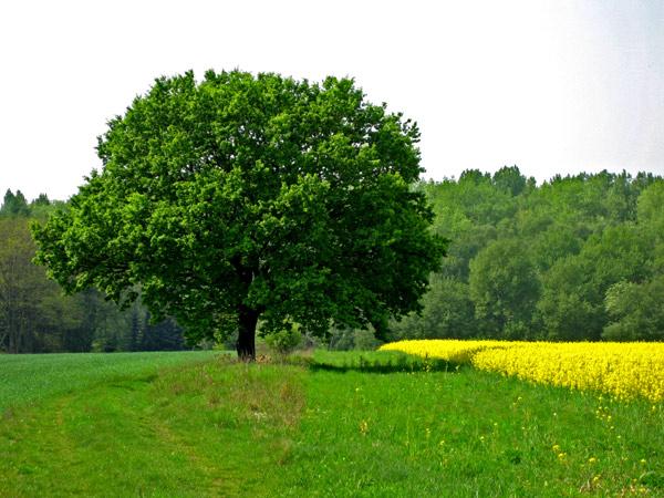 Fotoprojekt - Bäume Feldba10