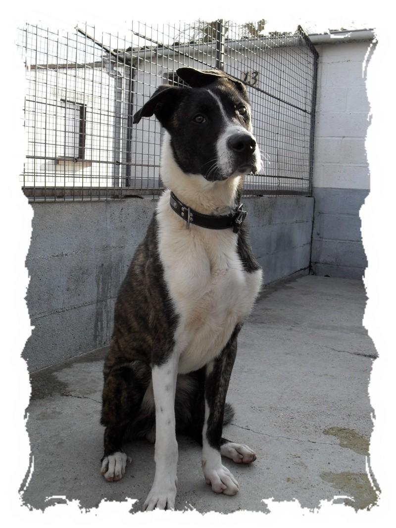 Rex x dogue allemand noir et blanc 1 an et demi spa de beauvais 1110