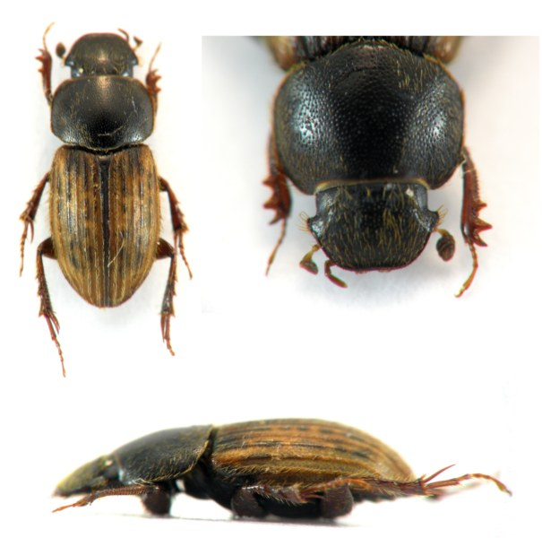 [Euheptaulacus carinatus]Heptaulacus Sans_t10