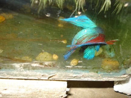 betta breeding Dsc06411