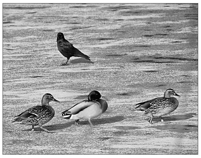 Les canards et le corbeau Lescan10