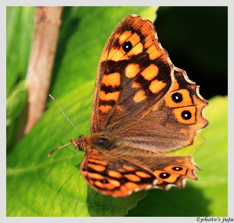 Papillon Img_5110