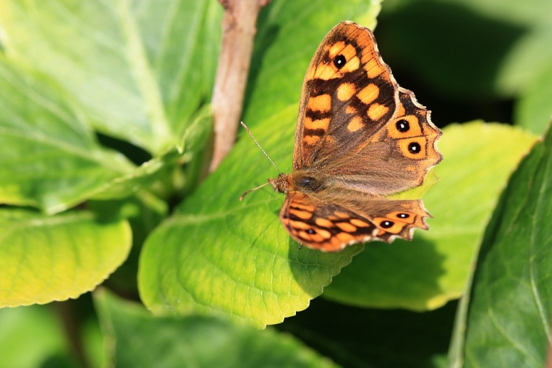 Papillon Tircis11