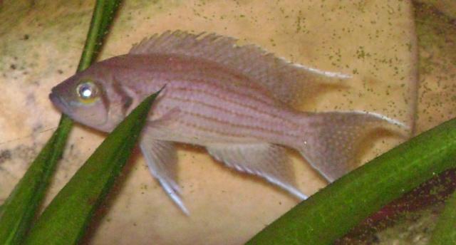 Fiche de Neolamprologus olivaceous Neolam17