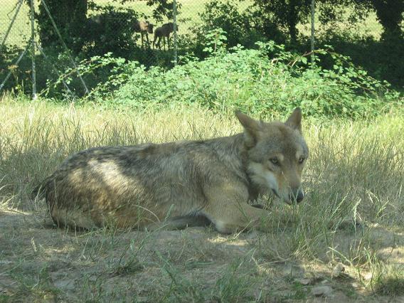 Le loup qui habite près de chez moi depuis plus de 5 ans Img12110