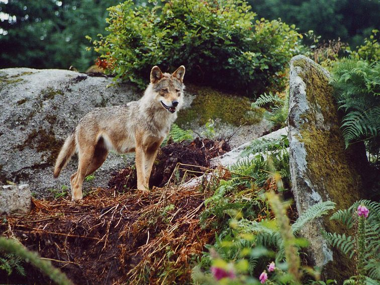 Le loup qui habite près de chez moi depuis plus de 5 ans Loup_111