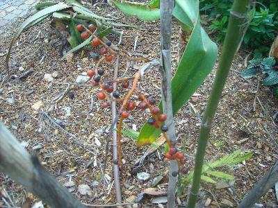 Chamaedora microspadix et calia secundiflora Micros10