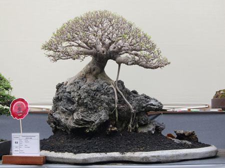 SPIRIT ' 09 INDONESIA NATIONAL BONSAI SHOW Ficus_10