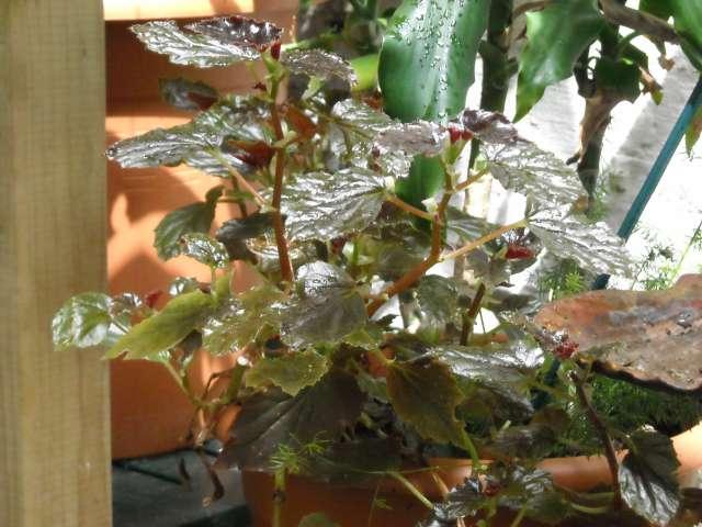 Begonias à identifier 21_06_10