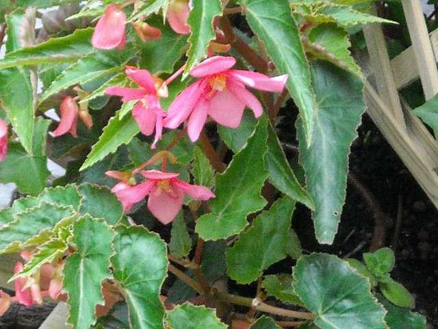 Begonias à identifier 21_06_11