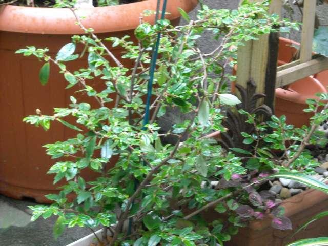 Begonias à identifier 21_06_12