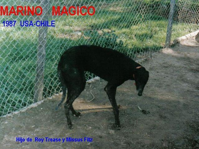 Marino Magico Greyho11