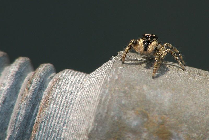 Les Araignées Araign12