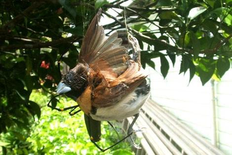 Les Araignées Oiseau10