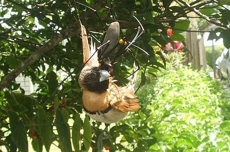 Les Araignées Oiseau12
