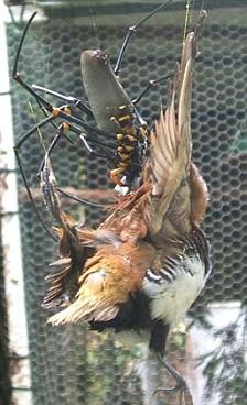 Les Araignées Oiseau13