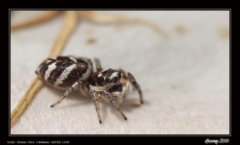 araignée Araign11