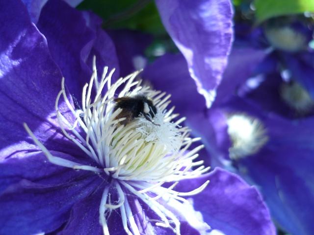 faune et flore du pays de Damigny (près d'Alençon) Du_plu12